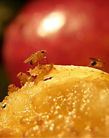 4fliesonfruit